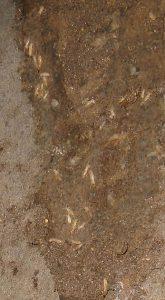 島根県松江ルラクホームシロアリの巣